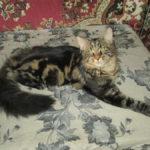 котята мейн куун
